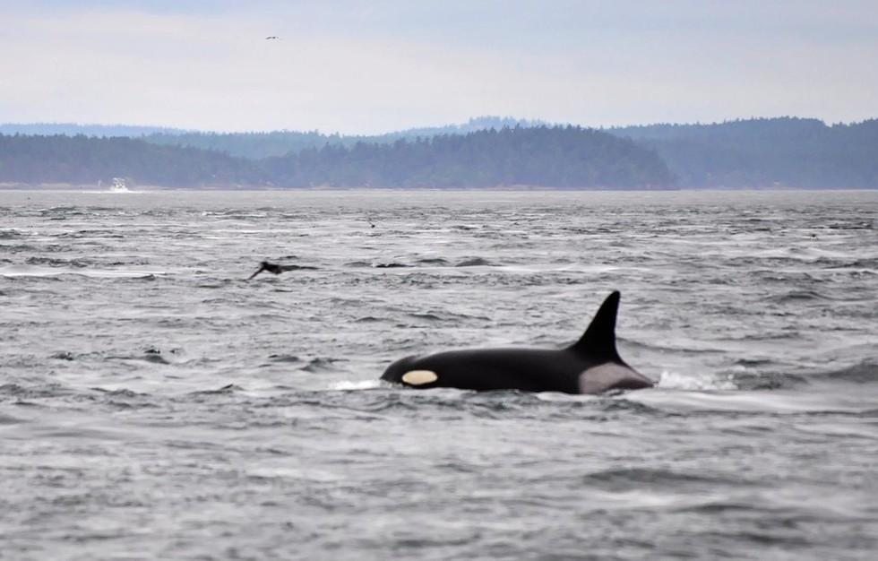 Recently Spotted 103-Year-Old Orca Is Bad News For SeaWorld -- Here's Why