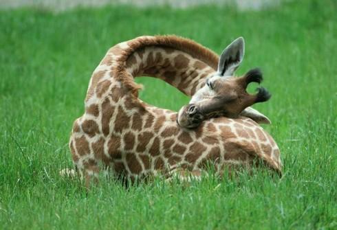 Giraffes Sleep Like They're Having The Sweetest Dreams