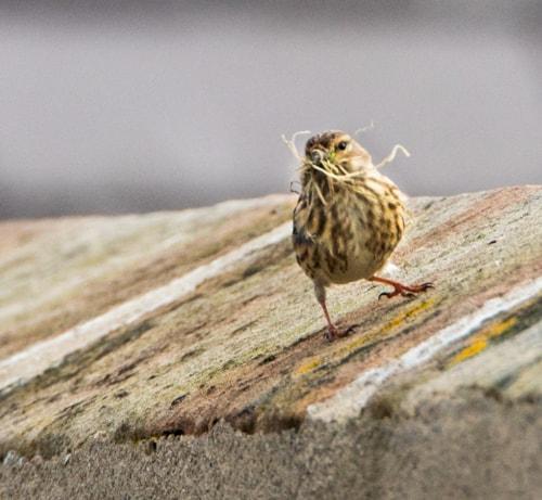 Pictures taken yesterday on Hilbre Island. Linnet, Meadow Pi... via Ron Thomas