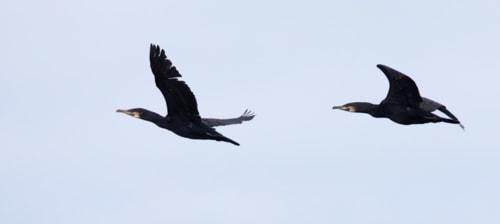 A Wren, Grey Seal, Cormorants & a female Linnet via Ron Thomas
