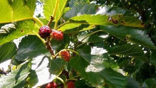 Black berries or Mulberries or Poison via Kev Richardson