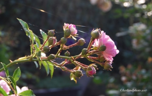 Flowers in the  morning light.                                     #photography #photos #nature ... via L Kerlund