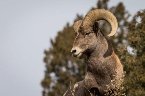 Big Ram up Waterton Canyon Denver Colorado via David Brown Eyes
