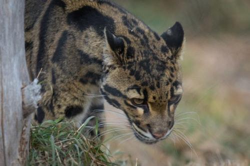 Clouded Leopard via David Brown Eyes