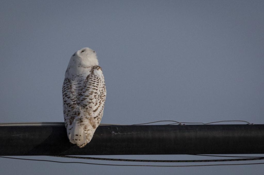 Boulder Snowy Owl via David Brown Eyes