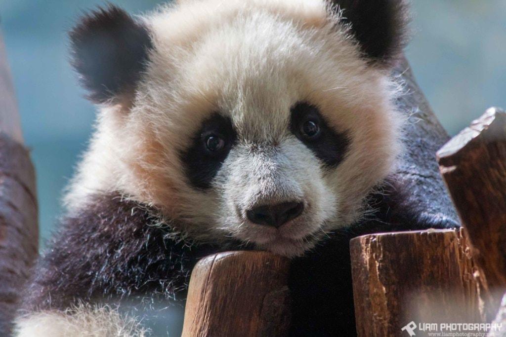 Baby Panda via Liam Douglas - Professional Photographer