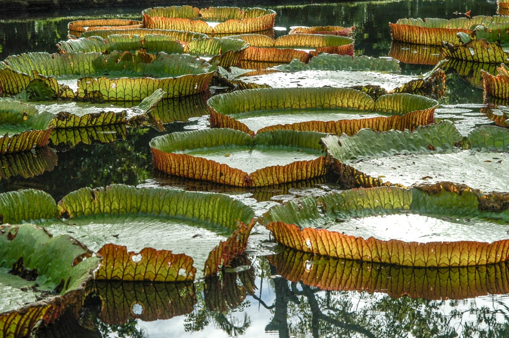 Water Lily - Pamplemousse garden in Maurice Island via Jean Michel