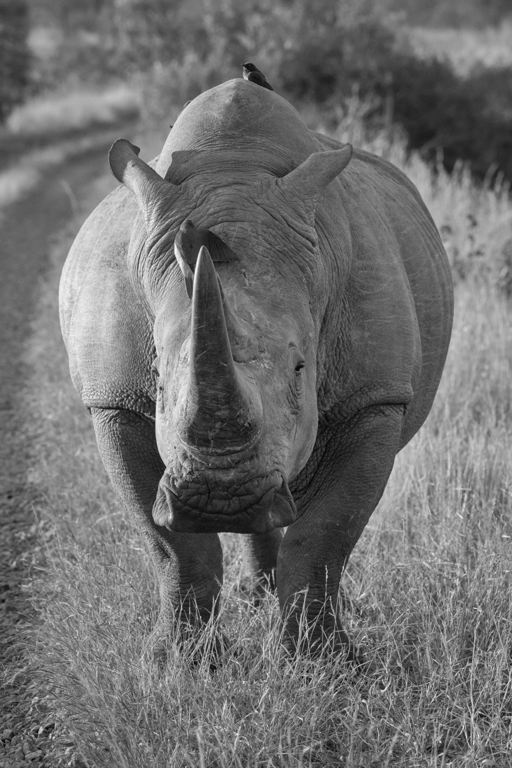 Rhino in Black and White via Stacy White