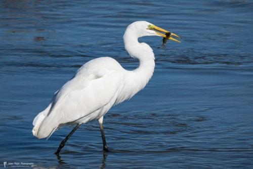 Aquatic Birds of San Jose del Cabo via John Hight