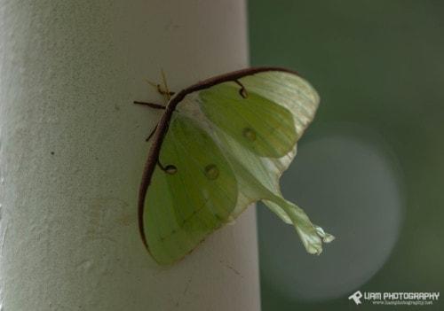 Luna Moth via Liam Douglas - Professional Photographer
