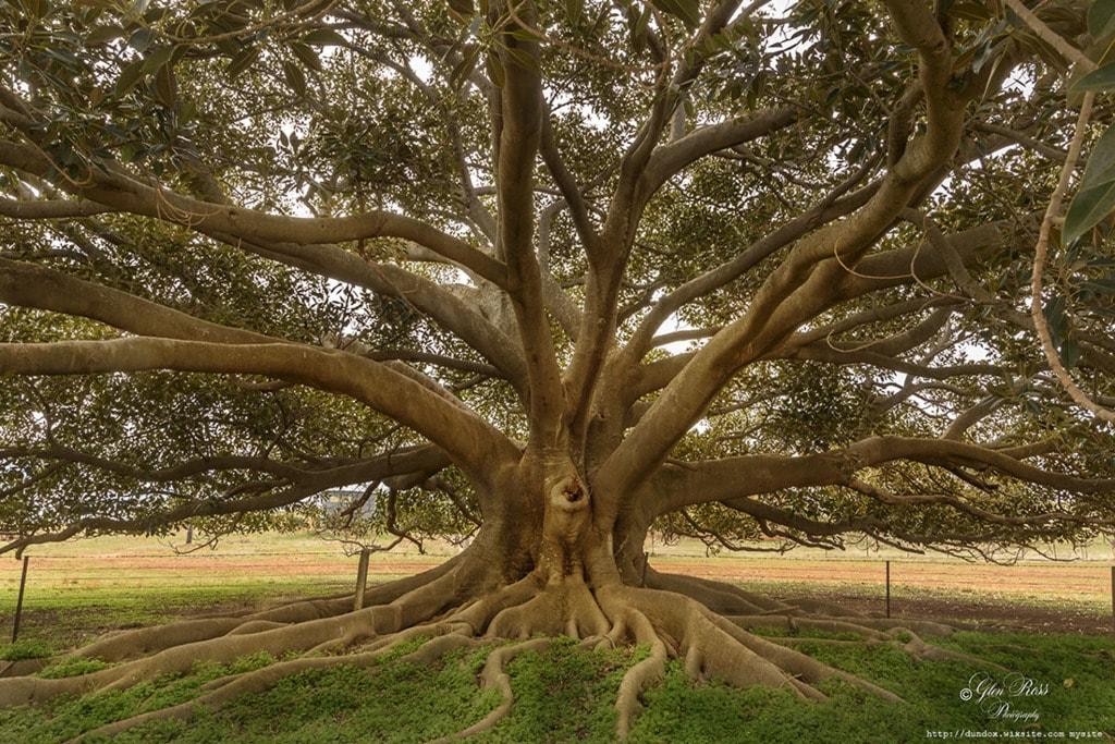 Tree via glen ross