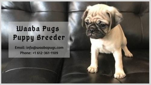 Waaba-Pugs-Puppy-Breeder : Waaba-Pug via Waaba Pugs