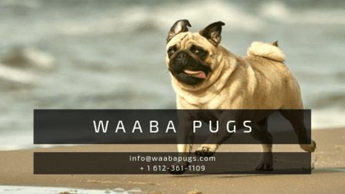 Waabapugs | Waaba-Pugs-Puppies-for-Sale via Waaba Pugs