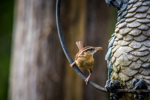 Carolina Wren via X700.gallery