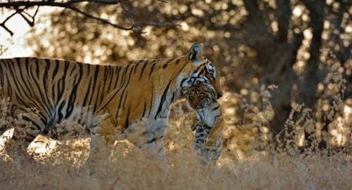 Ranthambhore Tiger Safari Booking Online at WildWorldIndia