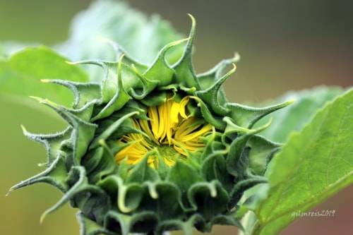 Sunflower via Gil Reis