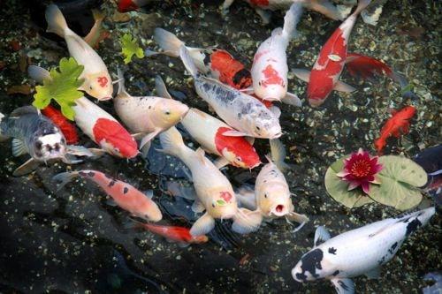 Kiến thức về Cá koi Nhật mà bạn nên nắm trước khi chơi