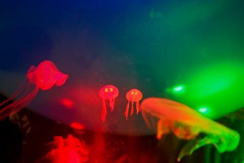 Tiny jellyfish twins swim at the Sea Life Aquarium in Helsin... via Jukka Heinovirta