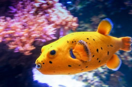 A Blackspotted puffer swimming at high speed by the corals. ... via Jukka Heinovirta