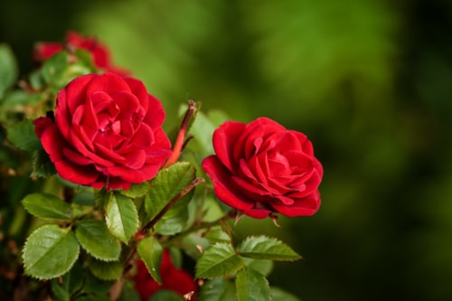 Two roses grow in a garden at the Northern Finland. The flow... via Jukka Heinovirta