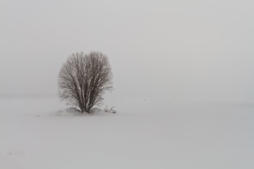A willow is standing on the snowy fields of the rural Finlan... via Jukka Heinovirta