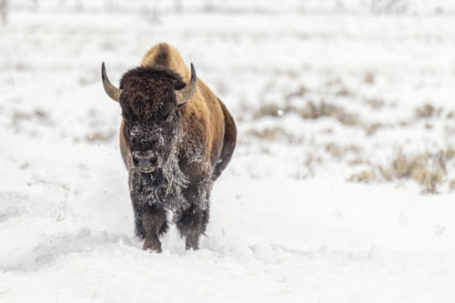 Bison in Snow via Stacy White