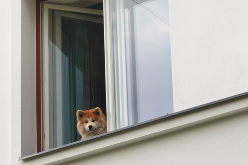 A dog watches the people passing by from a window in Tallinn... via Jukka Heinovirta