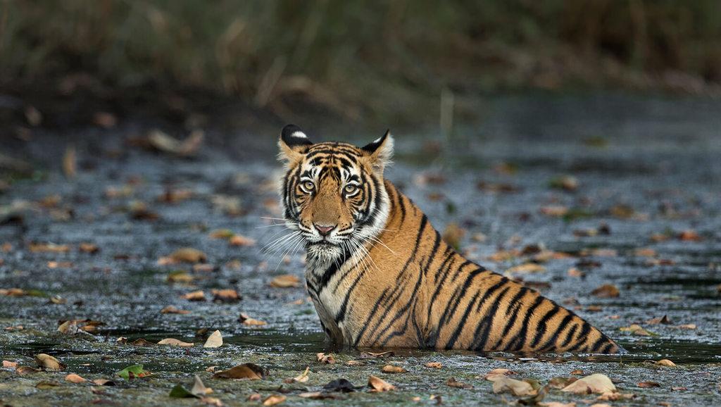 bengal tiger in Ranthambore National Park via aditya kumar