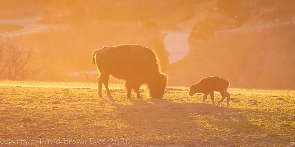 Friday Morning counting the new buffalo at Daniel's Park. via David Brown Eyes