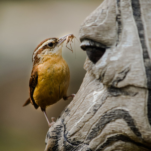 Carolina Wren - fake zebra