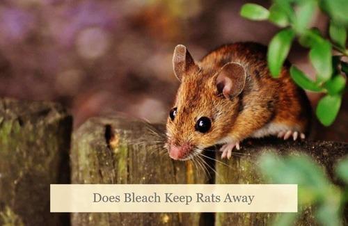 Does Bleach Keep Rats Away? - SmartOnlineLife
