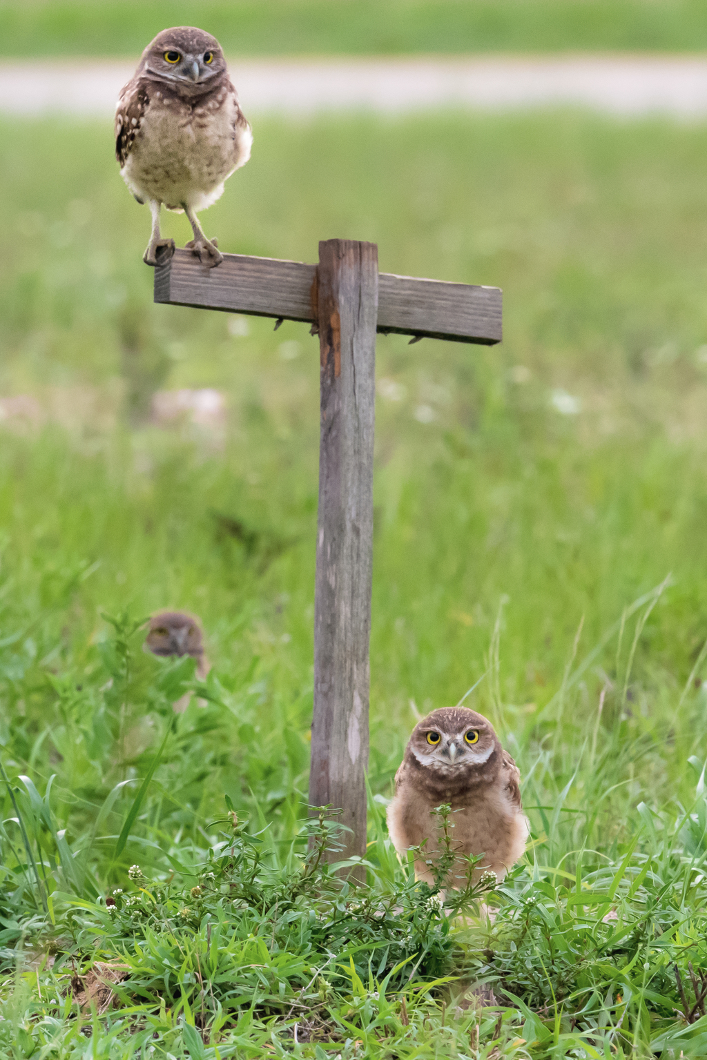 Burrowing Owls via Stacy White