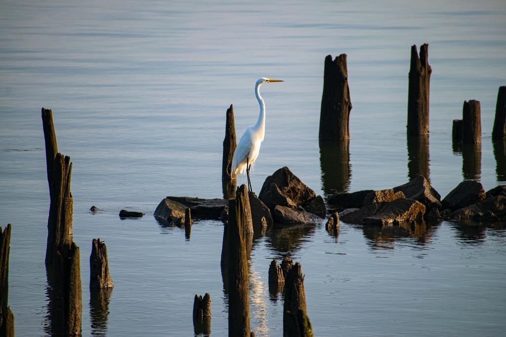 Great Egret via Steven Hughes