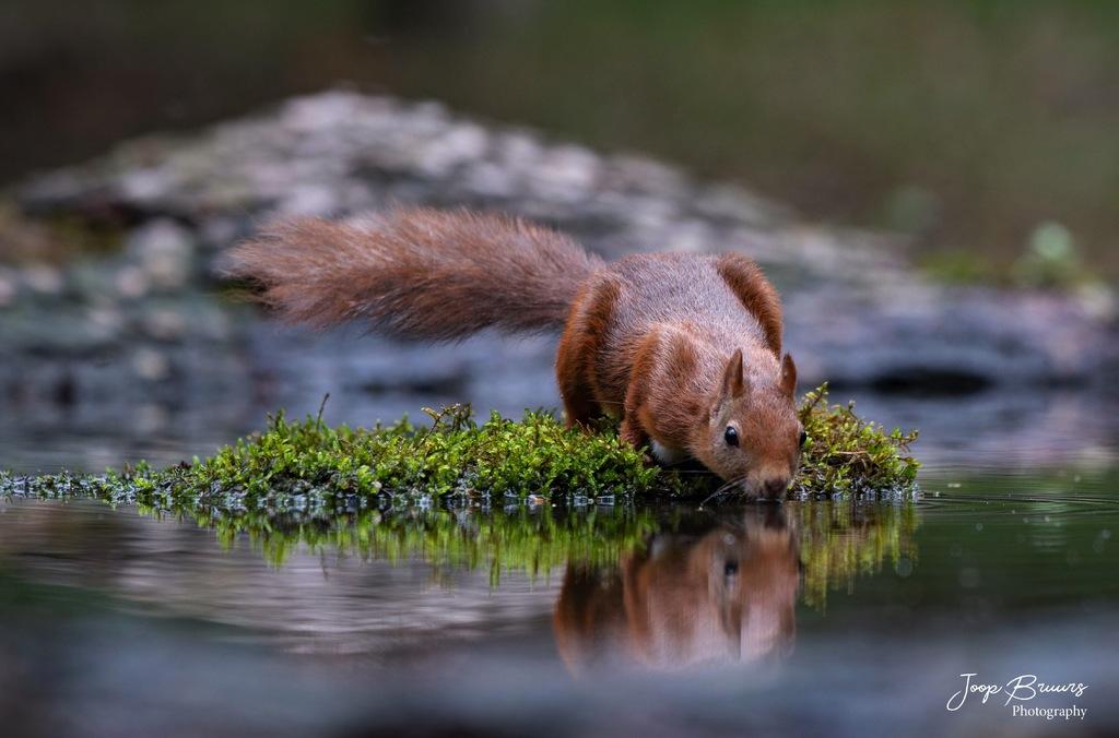 eekhoorn - Squirrel via Joop Bruurs