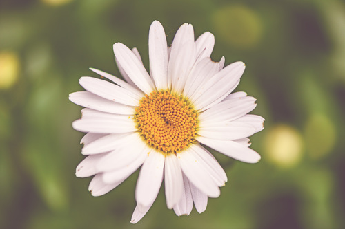 Summer Daisy via Stacy White