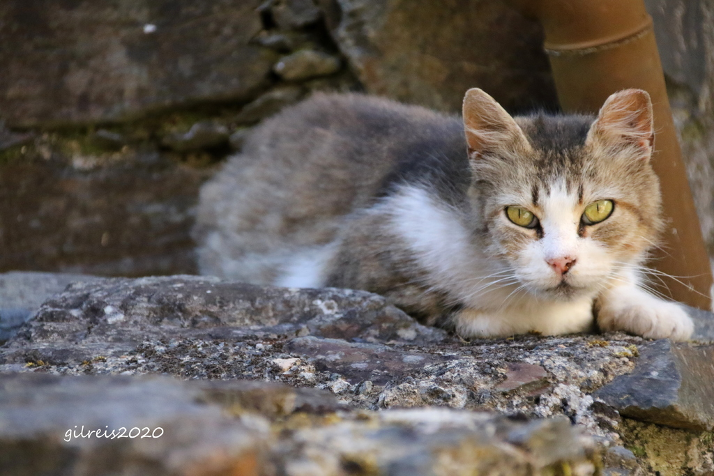 Sweet cat via Gil Reis