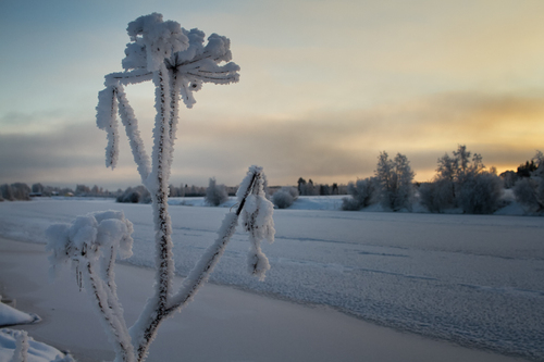 A frozen cow parsley by the icy river against sunset at the ... via Jukka Heinovirta