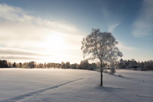 A lonely birch tree grows by the river. The winter sun shine... via Jukka Heinovirta