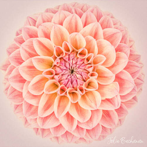 Dahlia by Jolie Buchanan via Jolie Buchanan