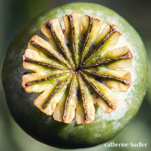 Poppy Seed Pod ~ Catherine Hadler via Squared Circling