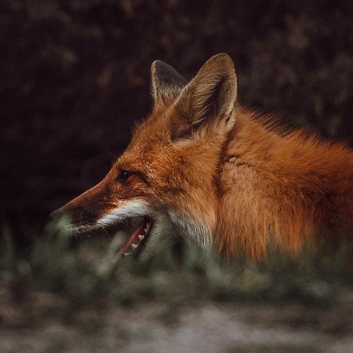 Mr. Fox via Lawrence Griffin