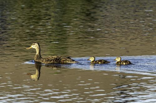 Ducks in a Row via Stacy White