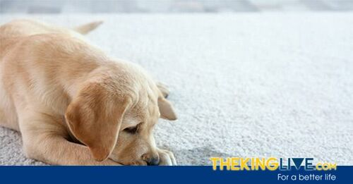 How to get urine smell out of carpet?