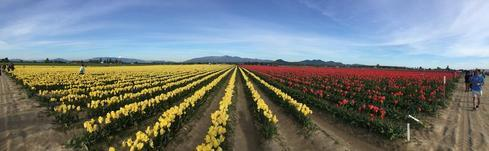Skagit Tulip Festival in Northwest Washington back in April                                     ... via Mikaela Rakos