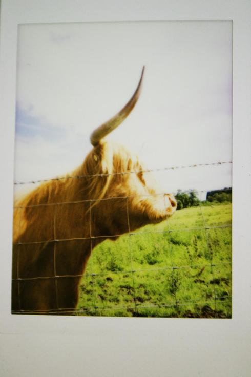 Befriended some hairy coos in scotland :) via Grace Wong
