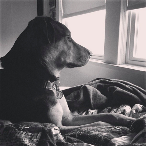 Staring out the window, deep in thought                                     #dogs #pets via Mikaela Rakos