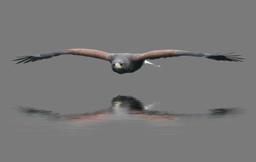 Harris hawk (under the radar) via Malc lawes
