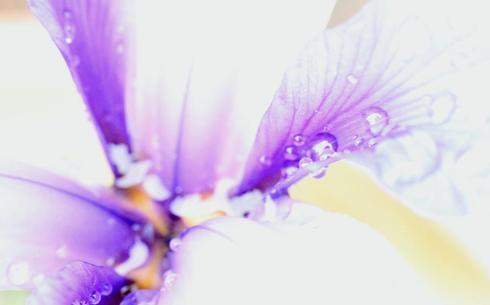 untouched photo of an iris... overexposed but still lovely! via Debbie Ward
