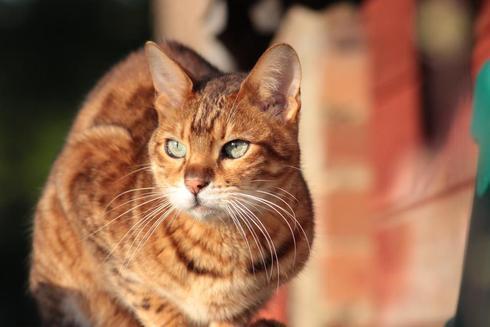 Sweeytodd the bengal cat via Debbie Ward