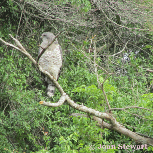 Southern Banded Snake Eagle perched up high.                                                                          #SouthAfrica #... via Joan Stewart